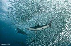 sharks-lg-copy